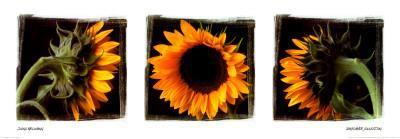 Sunflower Trio I