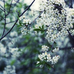 Spring Shoot of Apple Tree in Bloom by ilyianne