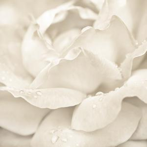 Abstract Macro Shot Of Beautiful Cream Rose Flower With Water Drops. Floral Background by Im Perfect Lazybones