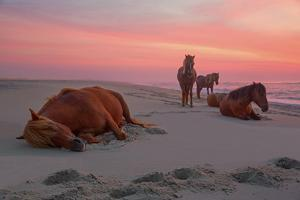 Assateague Island Wild Horses by Image by Michael Rickard