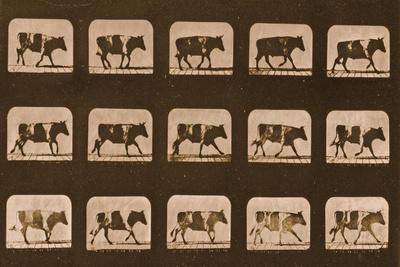 https://imgc.artprintimages.com/img/print/image-sequence-of-an-ox-running-animal-locomotion-series-c-1881_u-l-puixx70.jpg?p=0