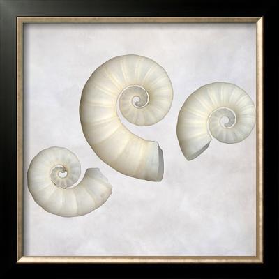 Still Life of 3 Shells