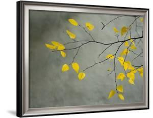 Yellow Autumnal Birch (Betula) Tree Limbs Against Gray Stucco Wall by Images Monsoon