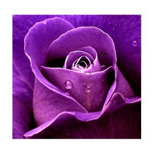 Purple Rose by Imagevixen