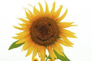Japan, Miyagi Prefecture, Sanbongi-Cho, Sunflower with Smiley Face by imagewerks