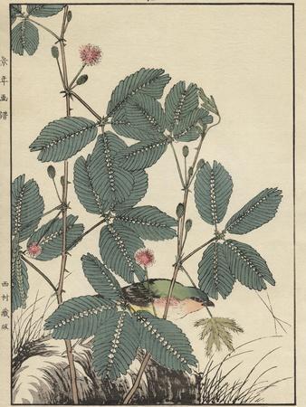 Sensitive Plant, Olive Sparrow