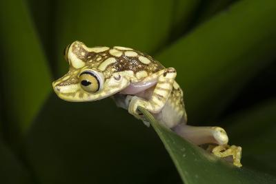 Imbabura Tree Frog, Choco Region, Ecuador-Pete Oxford-Photographic Print