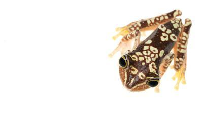 Imbabura Treefrog (Hypsiboas Picturatus) Viewed from Above, in Colombia and Ecuador-Edwin Giesbers-Photographic Print