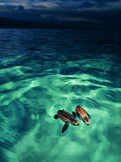 Imbricata Turtles-Andrea Ferrari-Photographic Print