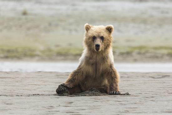 Immature coastal grizzly bear sits on beach. Lake Clark National Park, Alaska.-Brenda Tharp-Premium Photographic Print