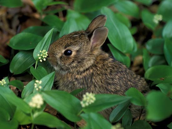 Immature Cottontail Rabbit, New York, USA-Art Wolfe-Photographic Print