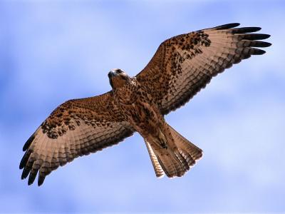Immature Galapagos Hawk in Flight, Galapagos, Ecuador-Ralph Lee Hopkins-Photographic Print