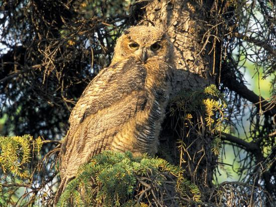 Immature Great Horned Owl in a Spruce Tree, Fairbanks, Alaska, USA-Hugh Rose-Photographic Print