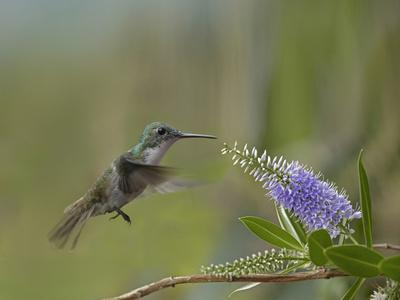 Immature Green Crowned Woodnymph Hummingbird at a Flower-Tim Fitzharris-Photographic Print