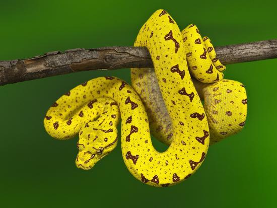Immature Green Tree Python-Adam Jones-Photographic Print