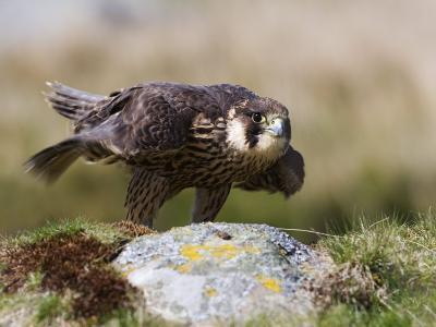 Immature Peregrine Falcon, Captive, United Kingdom, Europe-Toon Ann & Steve-Photographic Print