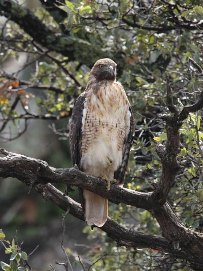 Immature Red Tail Hawk, Buteo Jamaicensis, Perched on a Branch-George Grall-Photographic Print