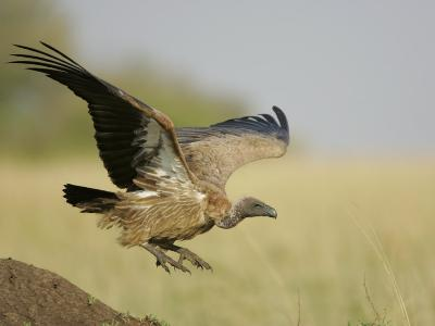 Immature Ruppell's Griffon Vulture Landing, Gyps Rueppellii, Maasai Mara, Kenya, Africa-Arthur Morris-Photographic Print