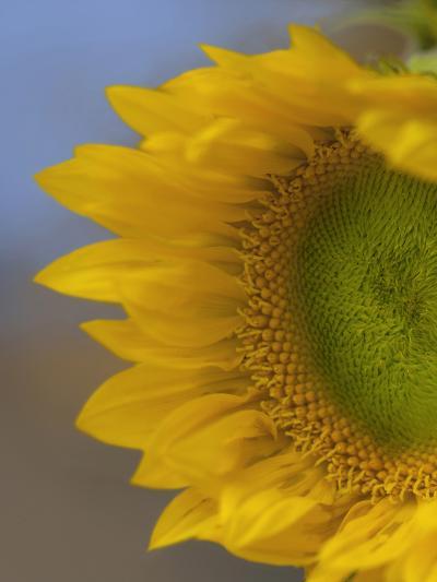 Immature Sunflower Still Growing-Tim Fitzharris-Photographic Print