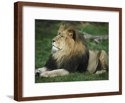 Immense and Powerful African Lion Male Surveys His Domain-Jason Edwards-Framed Photographic Print