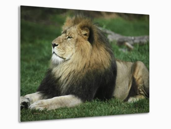 Immense and Powerful African Lion Male Surveys His Domain-Jason Edwards-Metal Print