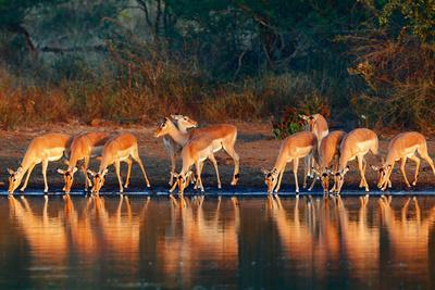 impala herd (aepyceros melampus) drinking water kruger nationalimpala herd (aepyceros melampus) drinking water kruger national park (south africa)