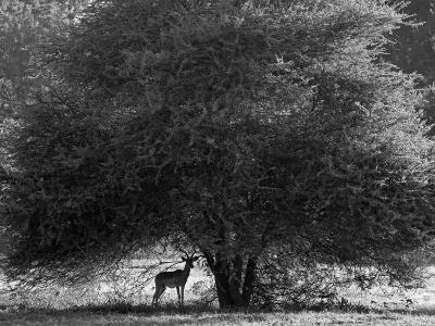 Impala in the Shade of a Large Acacia Tree-Beverly Joubert-Photographic Print