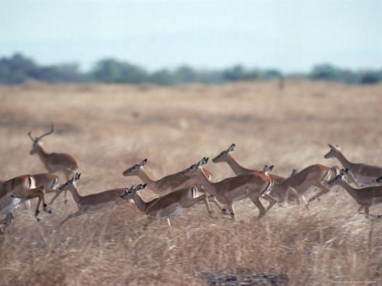 Impala, Serengeti, Tanzania, East Africa-John Dominis-Photographic Print