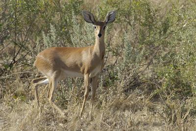 Impala, Upper Vumbura Plains, Botswana-Anne Keiser-Photographic Print