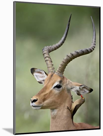Impala with a Red-Billed Oxpecker Cleaning its Ear, Kruger National Park, South Africa-James Hager-Mounted Photographic Print