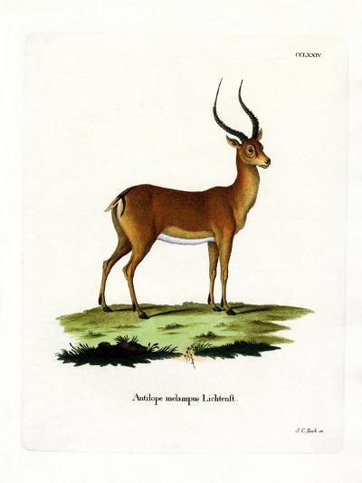 Impala--Giclee Print
