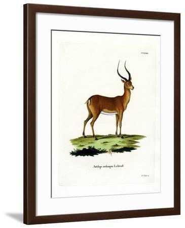 Impala--Framed Giclee Print