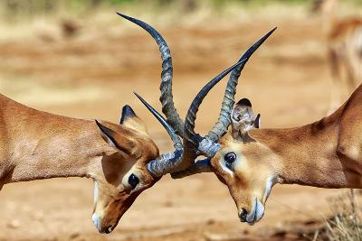 Impalas Fighting at Samburu-matthieu Gallet-Photographic Print