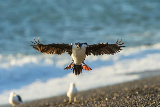 Imperial Cormorant (Pharacrocorax Atriceps), Patagonia, Argentina, South America-Pablo Cersosimo-Photographic Print
