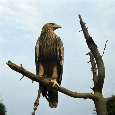 https://imgc.artprintimages.com/img/print/imperial-eagle-resting-on-a-branch_u-l-pzojab0.jpg?p=0