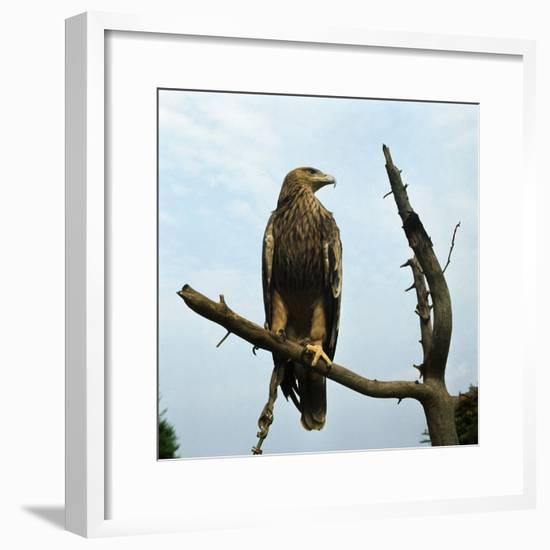 Imperial Eagle Resting on a Branch-Philip Gendreau-Framed Photographic Print