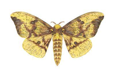Imperial Moth (Eacles Imperialis), Insects-Encyclopaedia Britannica-Art Print