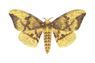 https://imgc.artprintimages.com/img/print/imperial-moth-eacles-imperialis-insects_u-l-q135jdg0.jpg?p=0