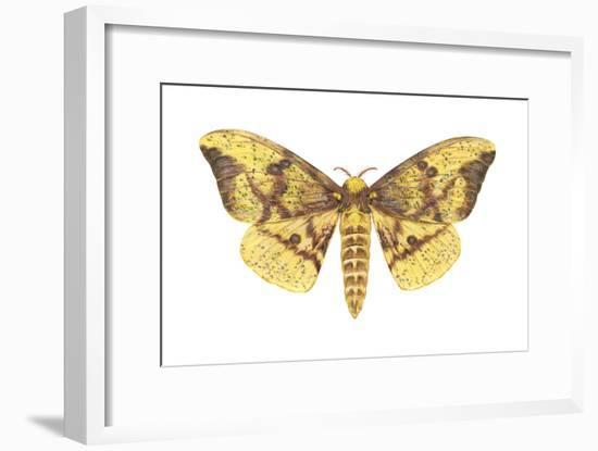 Imperial Moth (Eacles Imperialis), Insects-Encyclopaedia Britannica-Framed Art Print