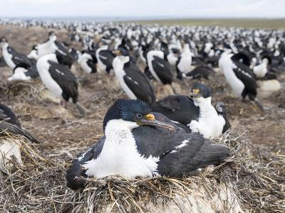 Imperial Shag also Called King Shag in a Huge Rookery-Martin Zwick-Photographic Print