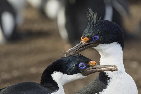 Imperial Shags, Falkland Islands-Adam Jones-Photographic Print