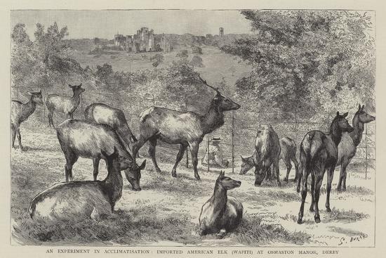 Imported American Elk, Wapiti, at Osmaston Manor, Derby--Giclee Print
