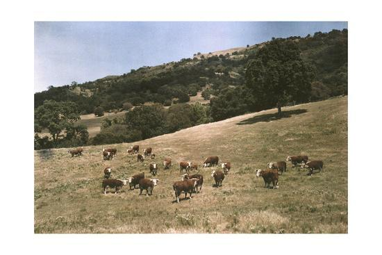 In a Pasture Near Pleasanton Hereford Cattle Graze-Charles Martin-Photographic Print