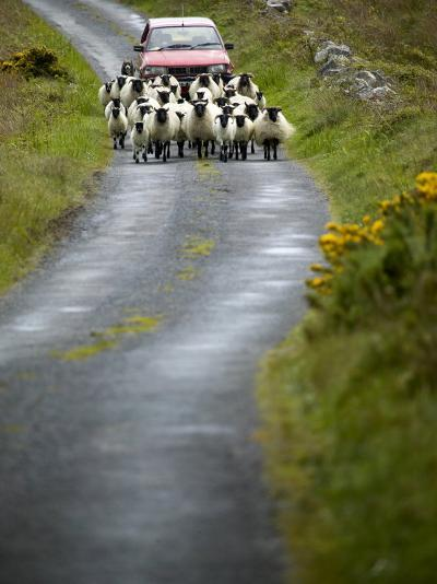 In Irish Shepherd Herds His Flock of Sheep, Clare Island, County Mayo, Ireland-Pete Ryan-Photographic Print