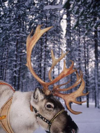 https://imgc.artprintimages.com/img/print/in-santa-claus-s-country-the-reindeers-abound-lapland-finland_u-l-pxpous0.jpg?p=0