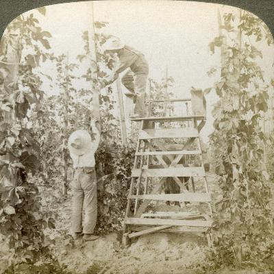 In the Rich Hop District, Training the Vines, White River Valley, Washington, USA-Underwood & Underwood-Giclee Print