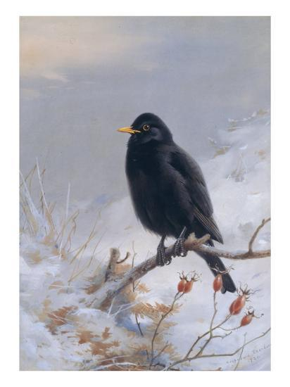 In Winter's Grasp - Blackbird, 1921-Archibald Thorburn-Giclee Print