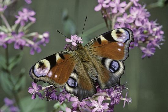 Inachis Io (Peacock Butterfly, European Peacock)-Paul Starosta-Photographic Print