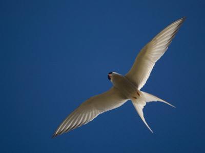 Arctic Tern in Flight, Snafelsness Peninsula, West Iceland