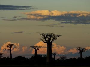 Baobab Trees in Baobabs Avenue, Near Morondava, West Madagascar by Inaki Relanzon